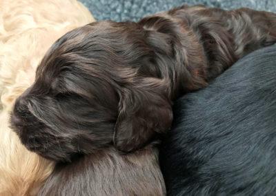 Chocolate Cockapoo puppy sleeping.