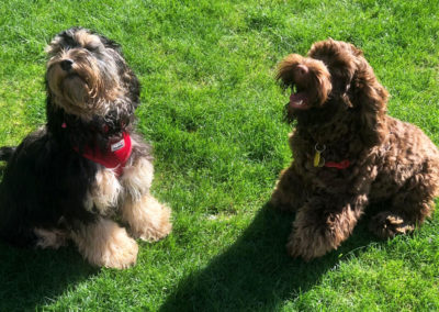 Sable and Chocolate Cockapoo puppies on walks.