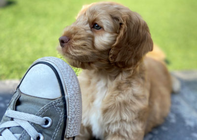 Golden Cockapoo puppy at my feet.