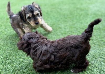 Cockapoo puppy playtime.