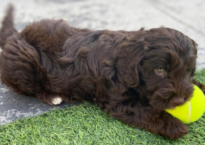 Chocolate Cockapoo puppy with her favourite ball.