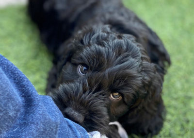 Black Cockapoo puppy not chewing my shoe.